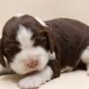 イングリッシュスプリンガースパニエルの子犬販売情報