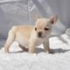 フレンチブルドッグの子犬4兄弟(クリーム・ブリンドル)