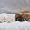 可愛い柴犬がいっぱい!赤毛・白毛の子犬(愛知)