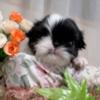 狆(ちん)子犬販売:白黒のオス
