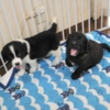 大型犬ミックスの子犬写真(生後40日)