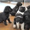 大型犬のミックス犬(母ゴールデンレトリバー・ブラック系)紹介中
