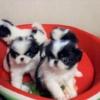 狆(ちん)子犬ご紹介中 令和元年7月生まれ