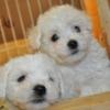 小ぶりタイプのビションフリーゼ子犬(令和元年生まれ)【募集終了】