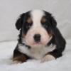 大型犬バーニーズマウンテンの子犬生まれています
