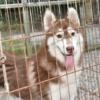 シベリアンハスキー子犬|生後7か月のチョコ(メス)