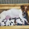 ジャックラッセルテリア子犬(9月生まれ)