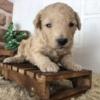 トイプードル(オス)子犬|2020年10月4日生
