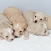 【マルプー】ミックス犬(オス2・メス2)子犬情報